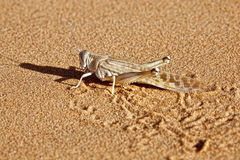 Side profile of grasshopper. Side profile of a grasshopper in desert sand Royalty Free Stock Image