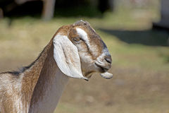 Side Profile Head of Nubian Goat Stock Photography