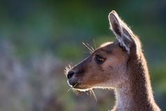 Side Profile Kangaroo stock images