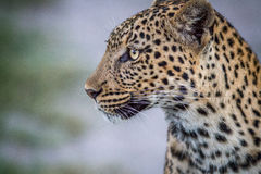 Side profile of a Leopard in Chobe. Stock Photos