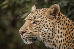 Side profile of a Leopard. Royalty Free Stock Photography