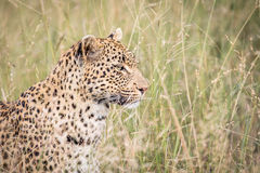 Side profile of a Leopard in Kruger. Royalty Free Stock Image