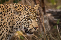 Side profile of a Leopard in the Sabi Sands. Stock Photography