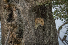 Side profile of a Leopard in a tree. Stock Images
