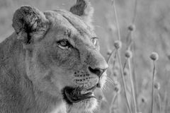 Side profile of a Lion in black and white. Royalty Free Stock Image