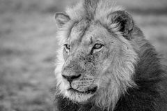 Side profile of a Lion in black and white. Royalty Free Stock Photo