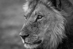 Side profile of a Lion in black and white. Side profile of a male Lion in black and white in the Kgalagadi Transfrontier Park, South Africa Royalty Free Stock Photography