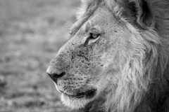 Side profile of a Lion in black and white. Side profile of a male Lion in black and white in the Kgalagadi Transfrontier Park, South Africa Stock Photo