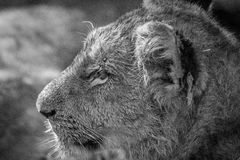 Side profile of a Lion cub in black and white. Side profile of a Lion cub in black and white in the Kruger National Park, South Africa royalty free stock photos