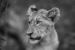 Side profile of a Lion cub in black and white. Royalty Free Stock Photo