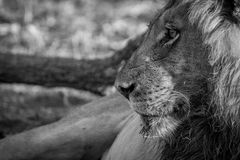 Side profile of a male Lion in black and white. Side profile of a male Lion in black and white in the Kruger National Park, South Africa Royalty Free Stock Photos