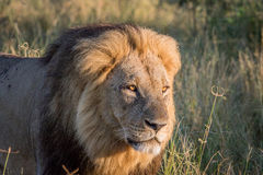 Side profile of a male Lion in Chobe. Side profile of a male Lion in the Chobe National Park, Botswana Stock Images