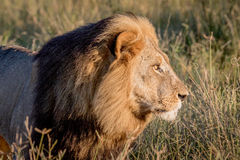 Side profile of a Male Lion in Chobe. Side profile of a male Lion in the Chobe National Park, Botswana Stock Photos