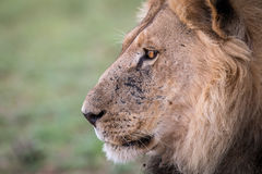 Side profile of a male Lion. Side profile of a male Lion in the Kgalagadi Transfrontier Park, South Africa Royalty Free Stock Photos