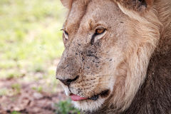 Side profile of a male Lion. Side profile of a male Lion in the Kgalagadi Transfrontier Park, South Africa Royalty Free Stock Photo