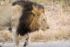 Side profile of a male Lion. Side profile of a male Lion in the Kruger National Park, South Africa Stock Images