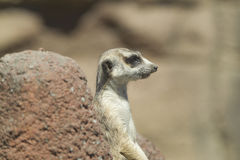 Side profile of meerkat. Stock Photo