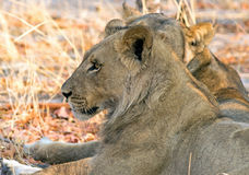 Side profile of a pair of lion heads Stock Photo