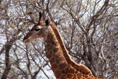 Side Profile Picture of Giraffe Head Royalty Free Stock Images