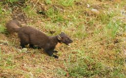The side profile of a stunning Pine Marten Martes martes in the highlands of Scotland standing on the grass with its mouth open. Stock Image