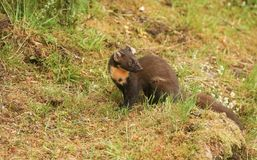 The side profile of a stunning Pine Marten Martes martes in the highlands of Scotland standing on the grass. The side profile of a Pine Marten Martes martes in royalty free stock photo