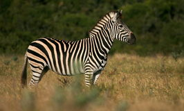 Side on profile portrait of a Burchels zebra Stock Images