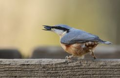 The side profile of a pretty Nuthatch Sitta europaea perched on wood with a sunflower seed in its beak. Stock Photography