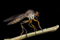 Side profile of a robberfly Royalty Free Stock Photography