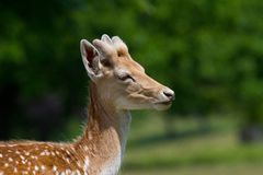 Side profile shot of a young stag fallow deer Royalty Free Stock Image