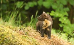 The side profile of a stunning Pine Marten Martes martes in the highlands of Scotland standing on a mossy mound. Royalty Free Stock Photos