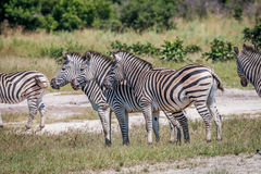 Side profile of three Zebras in Chobe. Royalty Free Stock Photo