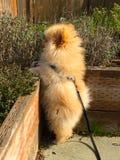 Pomeranian puppy stock photography