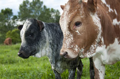 Side profile view of nguni calves Stock Photo