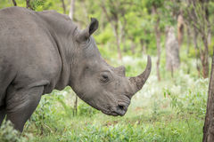 Side profile of a White rhino. Royalty Free Stock Image