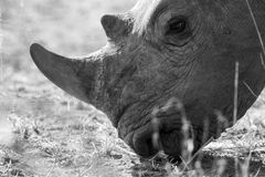 Side profile of a White rhino. Royalty Free Stock Photography