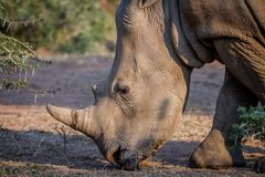 Side profile of a White rhino. Royalty Free Stock Images