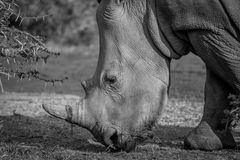 Side profile of a White rhino. Royalty Free Stock Photos