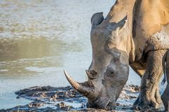 Side profile of a White rhino in the water royalty free stock photo