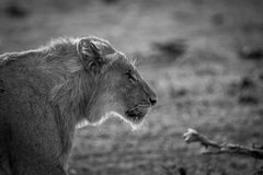 Side profile of a young male Lion in black and white. Royalty Free Stock Photos