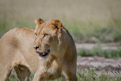 Side profile of a young male Lion. Side profile of a young male Lion in the Central Kalahari, Botswana Royalty Free Stock Photos