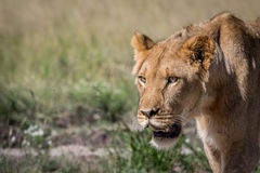 Side profile of a young male Lion. Side profile of a young male Lion in the Central Khalahari, Botswana Royalty Free Stock Photo