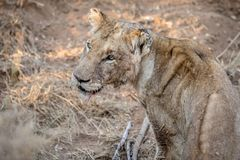 Side profile of a young male Lion stock image