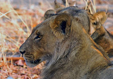Side Profile of a young male lion. A young male lion sits looking ahead while another sits behind Royalty Free Stock Photo