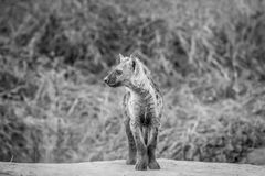 Side profile of a young Spotted hyena. Side profile of a young Spotted hyena in black and white in the Chobe National Park, Botswana Royalty Free Stock Images
