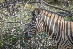 Side profile of a Zebra in Welgevonden royalty free stock photography