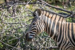 Side profile of a Zebra in Welgevonden stock photography