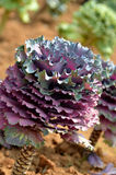 Side of purple cabbage Royalty Free Stock Photos