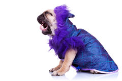 Side of a screaming pug puppy dog Royalty Free Stock Image