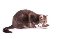 Side shot of a blue tabby cat eating Royalty Free Stock Photography