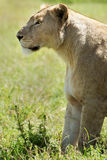 Lioness waiting Stock Image